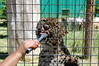 Amur Nom (JSleeper) Tags: oregon amurleopard greatcatsworldpark