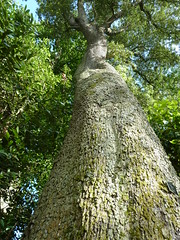 """Quercus Ilex """"Holm Oak"""" • <a style=""""font-size:0.8em;"""" href=""""http://www.flickr.com/photos/61957374@N08/5850341848/"""" target=""""_blank"""">View on Flickr</a>"""