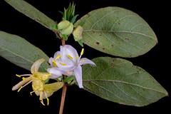 IMG_0005 Standish's Honeysuckle (oldimageshoppe) Tags: blossom flower honeysuckle winter