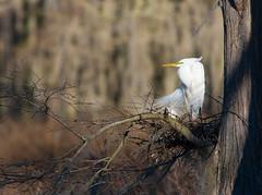 2017-02-16 P9770887 Windswept (Tara Tanaka Digiscoped Photography) Tags: bird nest swamp cypress greategret gh4 windswept spring