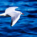 Black-headed Gull Flying on The Sea : 横浜港を飛翔するユリカモメ