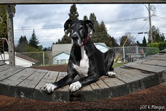 7.52.2017 (kmmorgan1977) Tags: 52weeksfordogs 52wfd 52wfd2017 kkzsapachevegasrose greatdane oregon milwaukie 2017 playground love