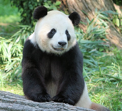 Tian Tian poses on a log (kjdrill) Tags: china bear usa animal giant washingtondc smithsonian panda bears fv10 pandas tiantian endangeredspecies dczoo fantasticanimalphotos 3690a
