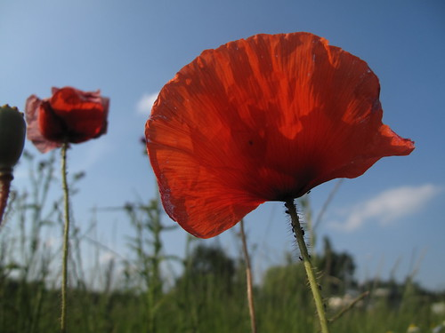 Poppy against sky