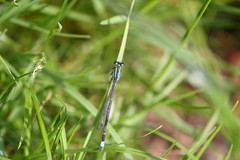 Dragonfly (DianneB 2007.) Tags: flowers holiday macro closeup wales woodland farm insects 105 conwy hedgerow dib conwyvalley gadgetgirl sigma105mm canon40d tyddynmawr