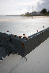 Day of the Ladybugs (andedam) Tags: vacation beach denmark bornholm sandvig sandvigstrand