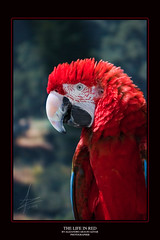 The Life in Red (VISION ALEXANDER Photography) Tags: california park santa camera red bird nature canon scarlet is state parrot cruz 5d gilroy 28 usm macaw alejandro ef pappagallo aaa watsonville aznar 70200mm araujo alexaz