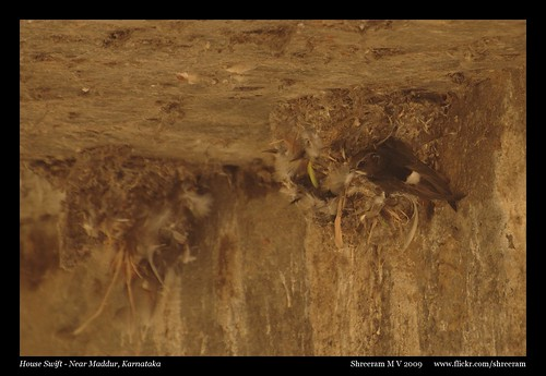House Swift on nest