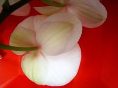 de cor intensa (Silvianasci) Tags: orchid flor orqudea masterphotos simno explore2009 silvianasci