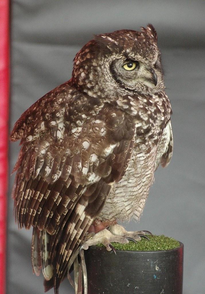 Brown Owl