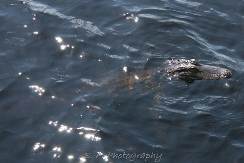 Alligator in Lake Dixie