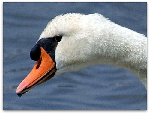 swan face