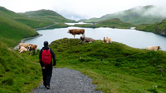 Careful on the approach! (monica.shaw) Tags: camping vacation holiday switzerland cows interlaken jungfrau lack bachalpsee