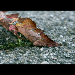 This Rugged Road (iM@n) Tags: road autumn fall leaves campus death leaf nikon father grandfather eindhoven tribute universiteit technische rugged     d90 technischeuniversiteiteindhoven   explored tributetomygrandfather  nikond90 technicaluniversityofeindhoven  bendinginwards tributetograndfather mygearandmepremium mygearandmebronze mygearandmesilver mygearandmegold