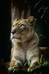 lion_002