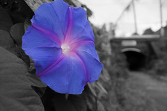 flower and train tunnel (justthething84) Tags: blue selectivecolouring selectivecoloring traintunnelblackandwhitewollongong