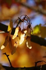 ... (anka.anka28) Tags: maple autunm jesień klon