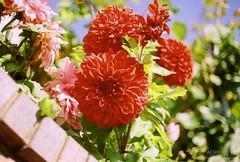 Beautiful Dahlias (Ashley E. Moore) Tags: flowers red film beautiful garden 50mm canonae1 dahlias 50mmlens