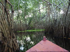 Going through the mangroves.