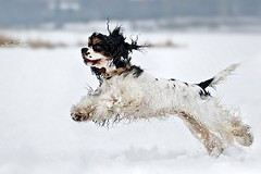 Kelly (Kerli'sPhotography) Tags: winter dog playing cute fun flying kelly cockerspaniel sessioon