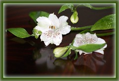 Flowers (Patricia Speck) Tags: flowers white flower green leaves reflections leaf petals petal buds tricia patricia speck
