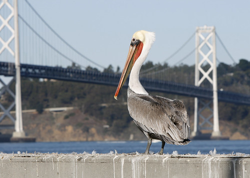 Brown pelican in South Beach marina, San Francisco. Photo by Lisa Vorderbrueggen