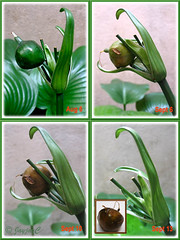 Fruit/seedpod of Proiphys amboinensis (Cardwell Lily), ripening in stages
