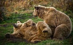 hát akkor pózoljunk:) (stefflpapa) Tags: bear canon medve veresegyháza medvepark specanimal 400d 70200f4lusm vosplusbellesphotos pózolás szépmacikák