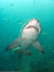 Does anyone know a good dentist? (kptncook) Tags: shark teeth sandtiger carchariastaurus greynurseshark