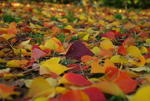 紅葉の絨毯 / red and gold leaves covering the floor