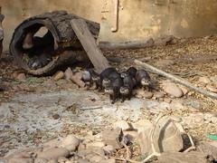 Otters, Atlanta Zoo (rosinberg) Tags: animals zoo otters atlantazoo otterfamily smallclawedasianotter
