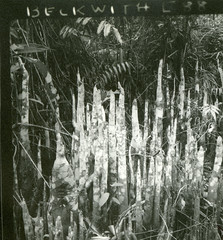 Pneumatophores (aerial roots) of an unidentified tree near Masamba
