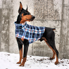 One of our Favorites (Fabric Not Available) (hoverfly) Tags: dog dogs giant sweater clothing coat large jacket doberman etsy custom hoverfly dogsweater dogcoat dobermanpinscher aoe dogjacket iiwteam dobermansweater hoverflyetsycom dobermancoat dobermanjacket