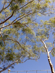 Up through the Lemon-scented gums