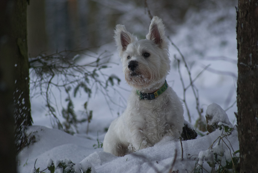 Dudley my Westie in the snow