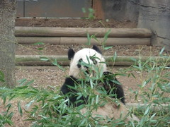 mei lan chewing on some bamboo