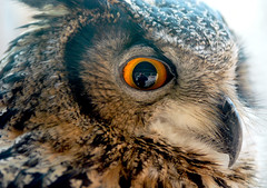 Eagle owl (floridapfe) Tags: bird eye face animal zoo nikon korea owl prey everland eagleowl d80