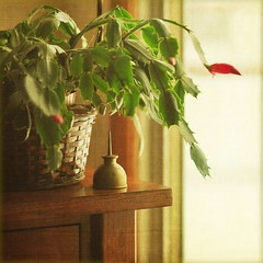 . christmas cactus with oil can . (susanonline (busy these days)) Tags: winter window basket textures christmascactus blooming winterday itg oilcan flypaper jpflypapertextures noidontoilmyplants