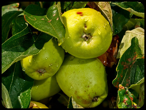 Chaparron Fruit