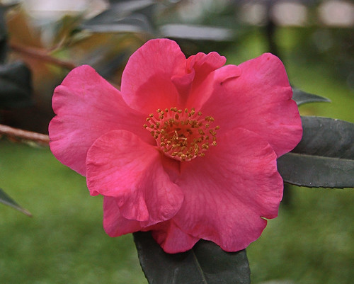 Camellia 2, at Missouri Botanical Garden (Shaw's Garden), in Saint Louis, Missouri, USA