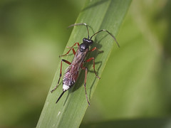 Ichneumon (Kentish Plumber) Tags: boughbeech kent kentwildlifetrust kwt wildlife nature insect closeup macro olympus gio ichneumon ichneumonidae ovipositor parasitic wasp nbw antennae legs red black wings zuiko fourthirds zuikodigital35mm135macro kentishplumber photography photos images