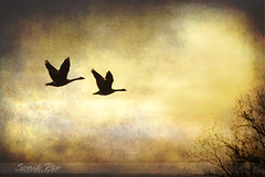 Migrating Geese (soniarae) Tags: texture nature animal silhouette digital nikon coffeeshop d200 cityart 2011 nikond200 realmagic natureplus uniquecreation skeletalmess pse8 photoshopelements8