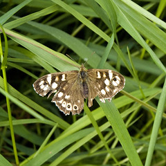 Speckled Wood Butterfly (l4ts) Tags: grass derbyshire chesterfield tatty speckledwoodbutterfly britnatparks linacrereservoirs woodnooklane linacrewood