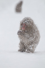 Snow Child (Masashi Mochida) Tags: snow japan monkey nagano jigokudani coth supershot impressedbeauty natureselegantshots