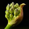 agapanthe - agapanthus (pierre hanquin) Tags: color macro fleurs geotagged nikon pierre micronikkor60mm d7000 hanquin