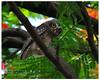 Spotted Owlet {Athene brama}, In Bengali Bhutom Pencha (- Ariful H Bhuiyan -) Tags: bird safari spotted ttl owlet brama pecha rajshahi spottedowlet athenebrama pakhi nawabganj chapai ttlsafari ttlsafari6