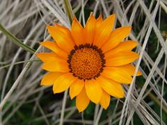 Flower (vicki.marie) Tags: newzealand wild plant beach sony nz f828 sonydscf828