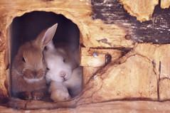 [フリー画像] [動物写真] [哺乳類] [小動物] [兎/ウサギ] [恋人/カップル] [寝顔/寝相/寝姿]     [フリー素材]