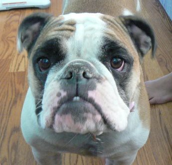 Lucy the Bulldog-Shot by Mrs. 4444