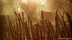 TARDE DE LLUVIA... (Tomasescalante) Tags: sonora lluvia alamos tarde tomasescalante alamoviejo